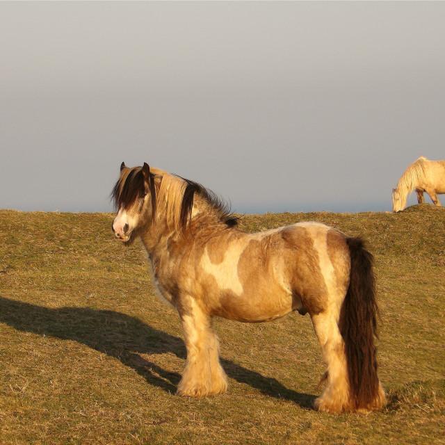 """Horses on Pembrokeshire Coast"" stock image"