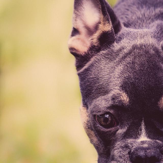 """French bulldog puppy"" stock image"