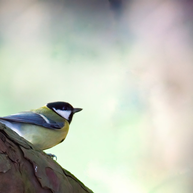"""Blue Tit on a tree branch"" stock image"
