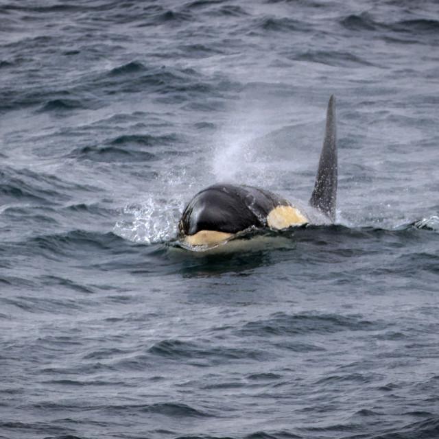 """Type B (Gerlache) orca, Gerlache Strait"" stock image"