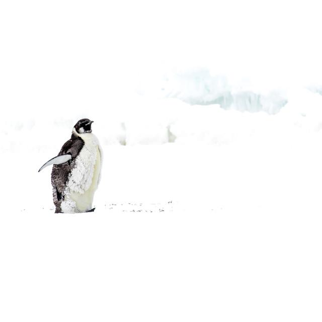 """Emperor penguin, Vernadsky"" stock image"