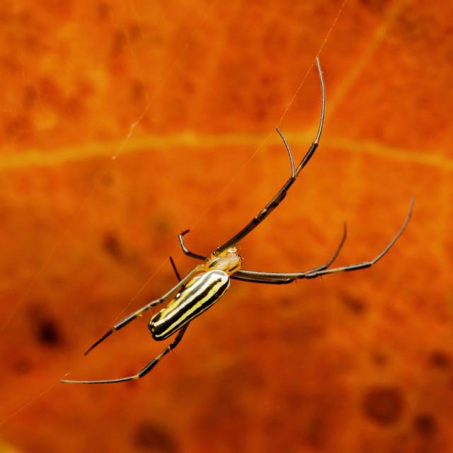 """Orb Weaver Spider"" stock image"