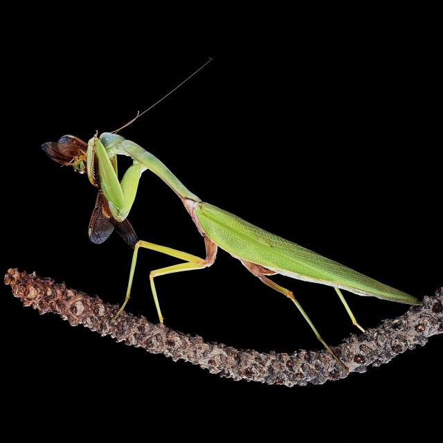 """""""Praying mantis and its prey"""" stock image"""
