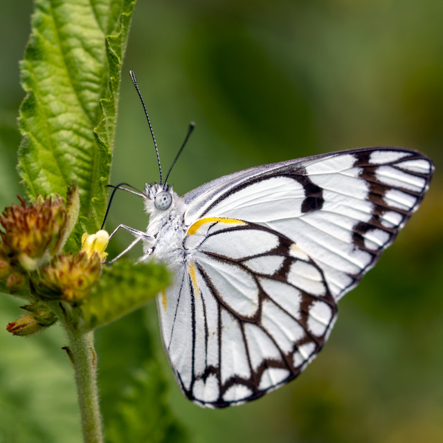 """""""Brown veined white butterfly"""" stock image"""