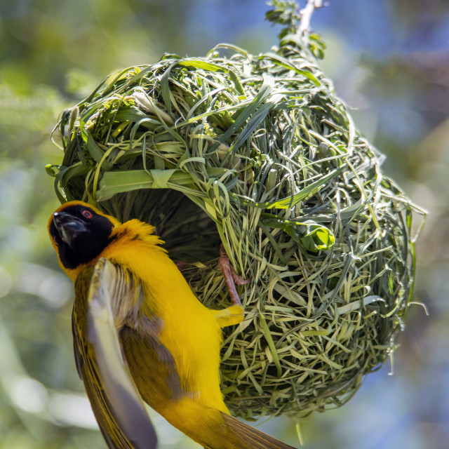 """Southern masked weaver bird"" stock image"