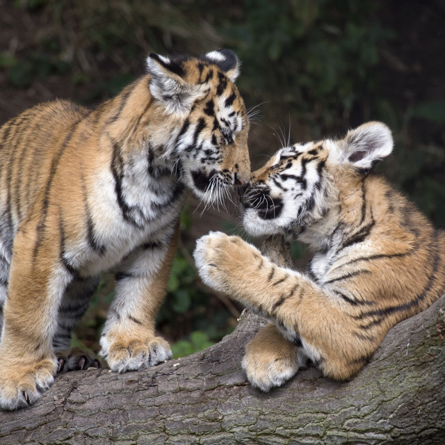"""Two Amur tiger cubs in tree"" stock image"