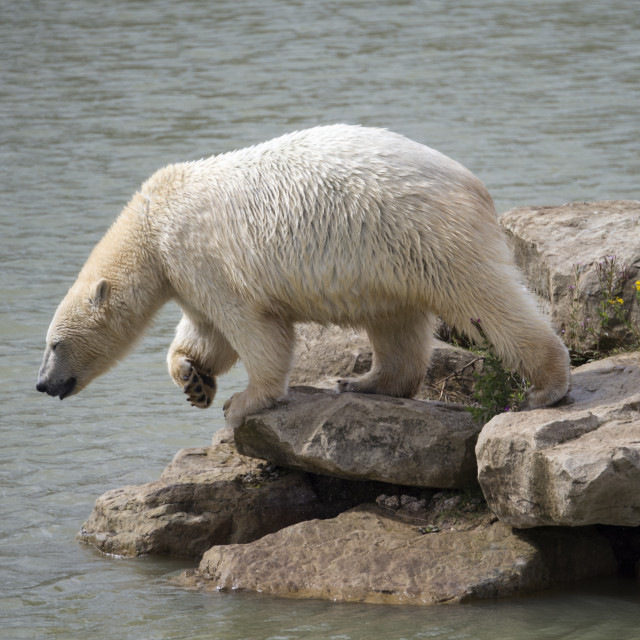 """Polar bear jumping into water"" stock image"