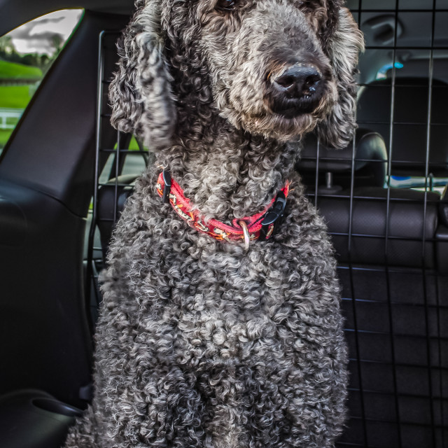 """Standard Poodle Looking out of car"" stock image"
