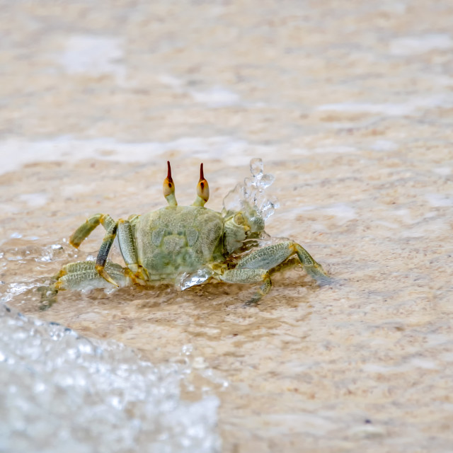 """""""Ghost crab"""" stock image"""