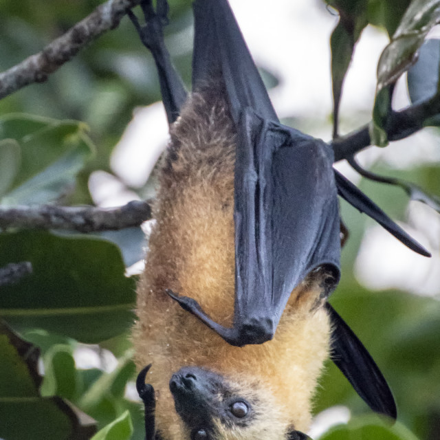 """Fruit bat"" stock image"