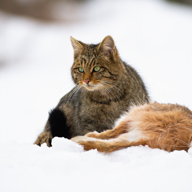 """""""European wildcat with killed hare sitting on snow watching"""" stock image"""