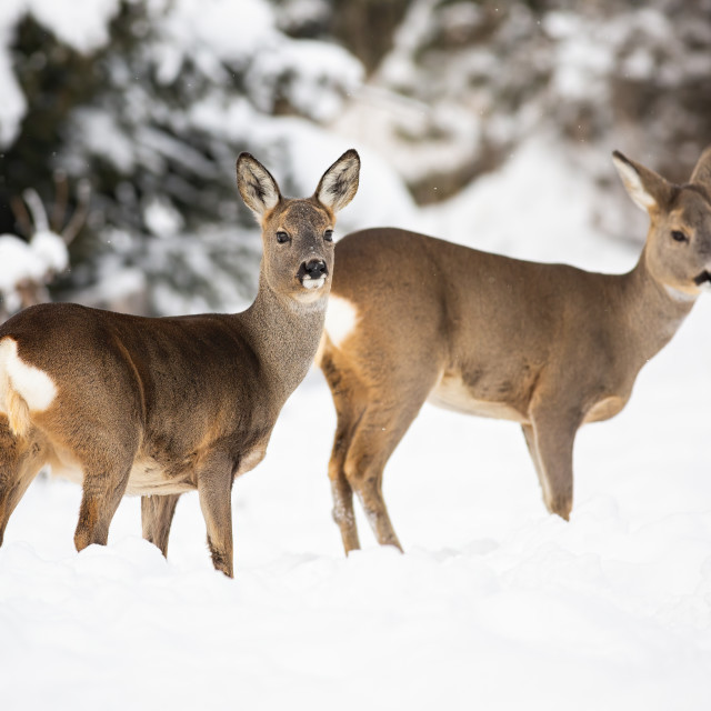 """""""A pair of shy roe deer posing on the snowy cover of the forest meadow"""" stock image"""