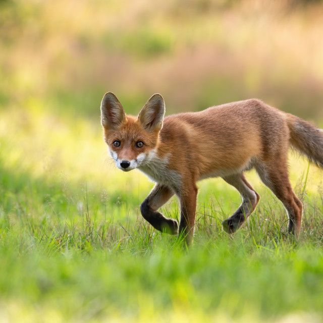 """""""Playful red fox cub hunting on a green hay field in summer nature"""" stock image"""