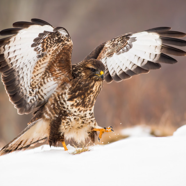 """Bird of prey landing on snow covered meadow with wings wide open in wintertime"" stock image"