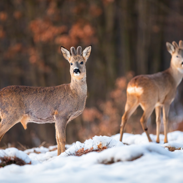 """""""Herd of roe deer on snow in winter at sunset with forest in background"""" stock image"""