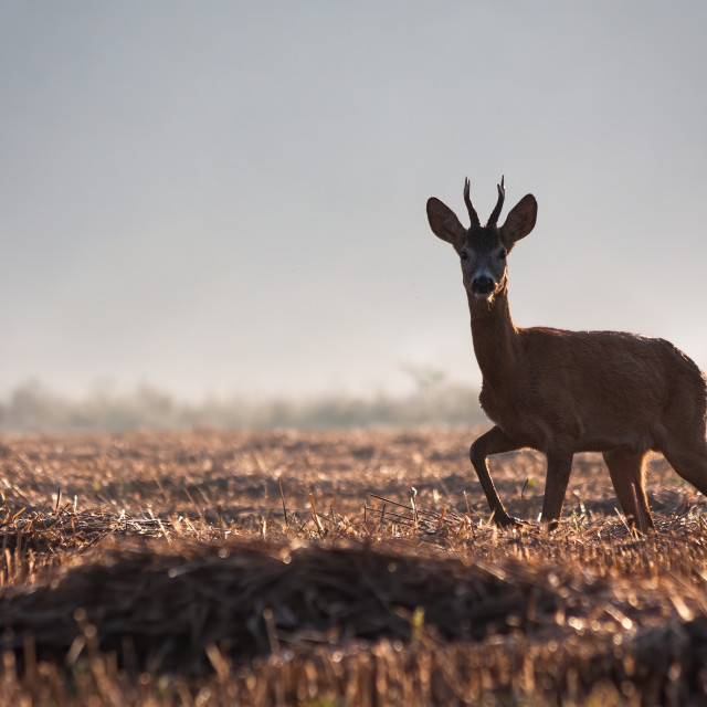 """""""Roe deer buck walking on a agricultural stubble field in summer."""" stock image"""