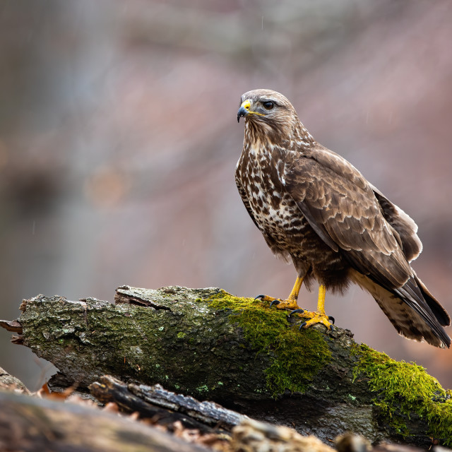 """""""Wild common buzzard on a tree stump in nature with copy space"""" stock image"""