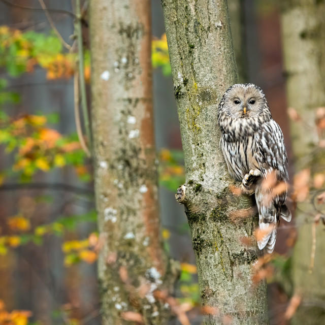 """Cute ural owl sitting on tree and hiding behind leafs in autumnal forest"" stock image"
