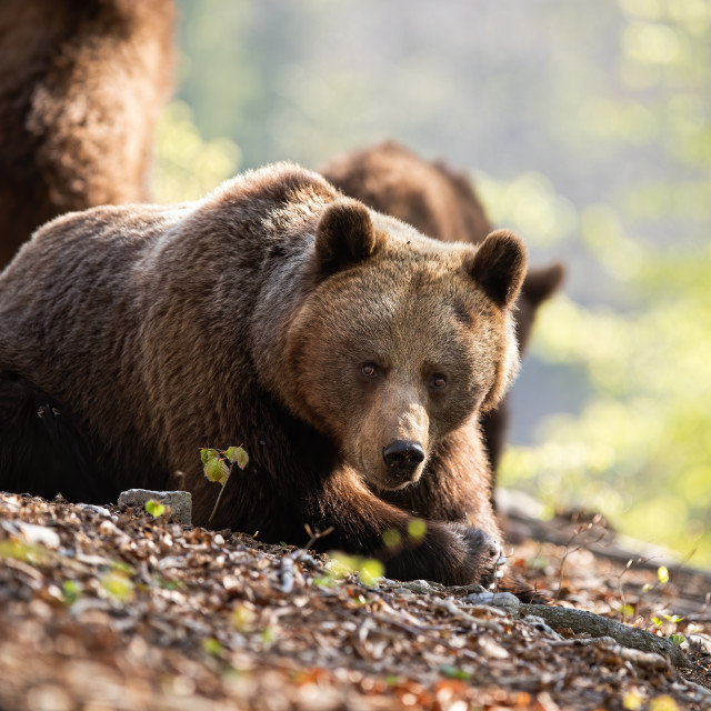 """""""Sunkissed adult brown bear laying on the forest leaves"""" stock image"""