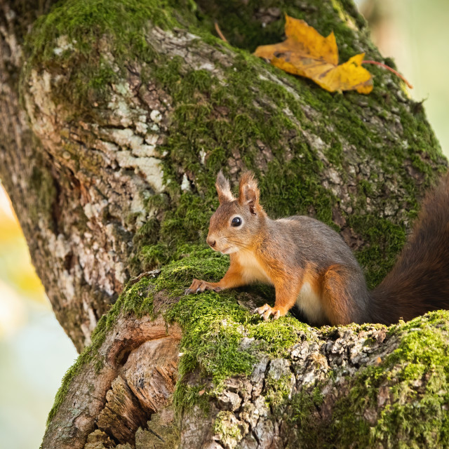 """Red squirrel hiding in mossy tree trunk with yellow autumnal leafs"" stock image"