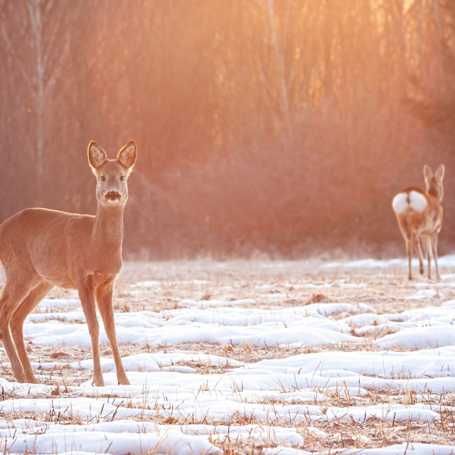 """""""Two roe deer on a meadow early in the morning with sun rays shining"""" stock image"""