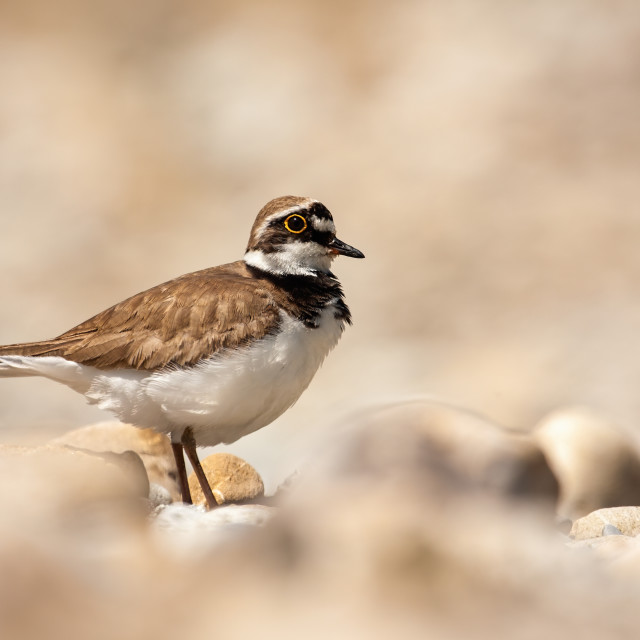 """""""Little ringed plover standing on a rocky beach in summer"""" stock image"""