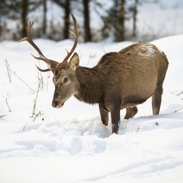 """""""Hungry red deer stag looking for food in deep snow"""" stock image"""
