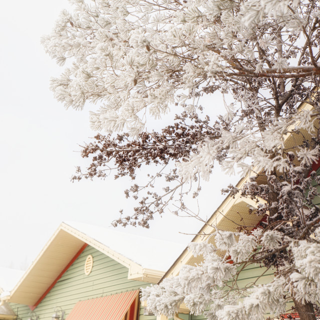 """""""A horizontal photo of pine tree with thick frost covered needles contrasted against yellow and green rooftop in a winter scene"""" stock image"""