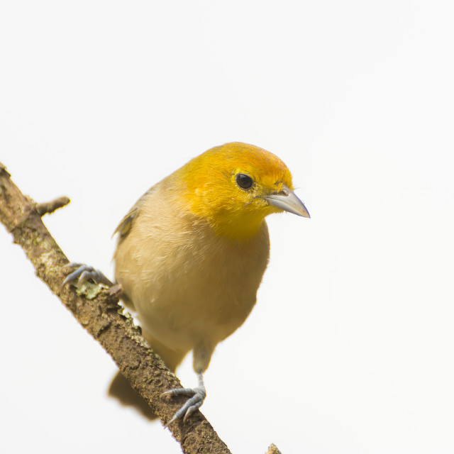"""The Orange-headed Tanager (Thlypopsis sordida)"" stock image"