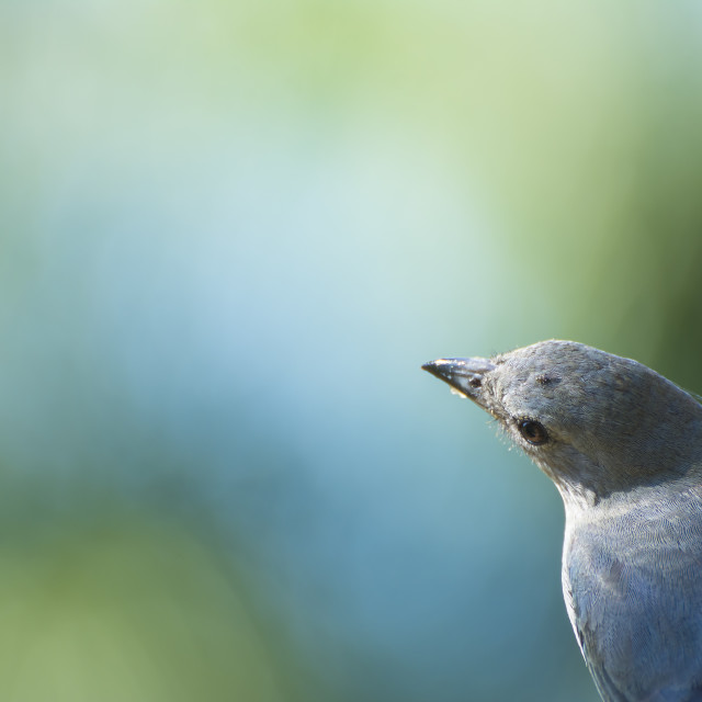"""The Sayaca Tanager (Tangara sayaca)"" stock image"