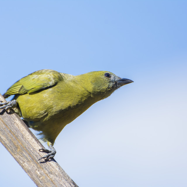 """The Palm Tanager (Tangara palmarum)"" stock image"