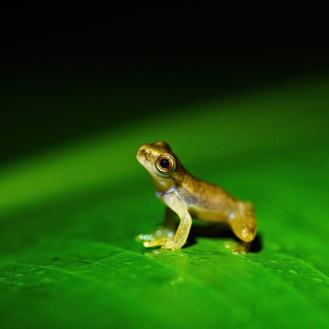 """Tiny baby frog sitting on a large leaf macro close-up, taken in Costa Rica"" stock image"