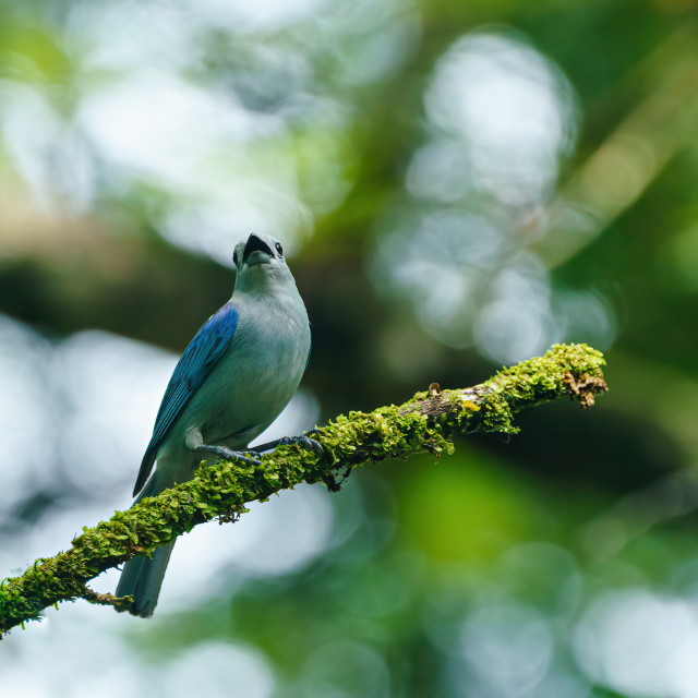 """Blue-gray Tanager (Thraupis episcopus) perched on a small branch, in Costa Rica"" stock image"