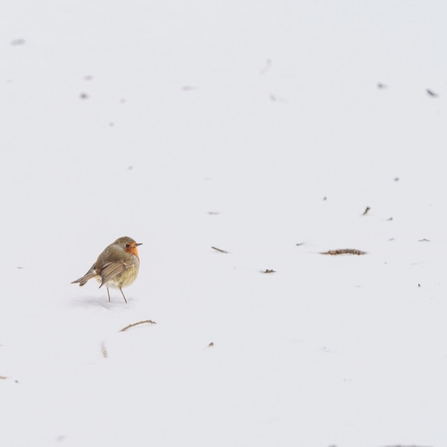 """European Robin (Erithacus rubecula) on the ground in snow"" stock image"