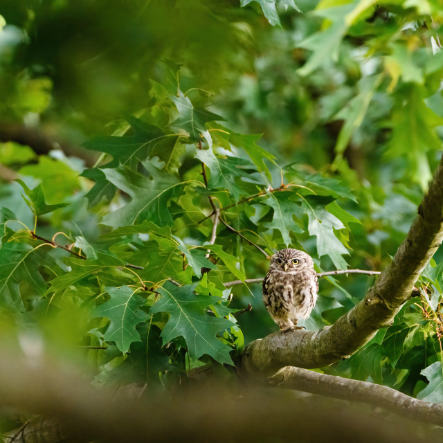 """Little Owl (Athene noctua) perche don a branch, surrounded by green leaves in..."" stock image"