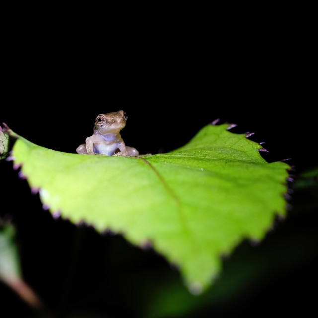 """Cute tiny baby frog sitting on a large leaf in Csota Rica"" stock image"