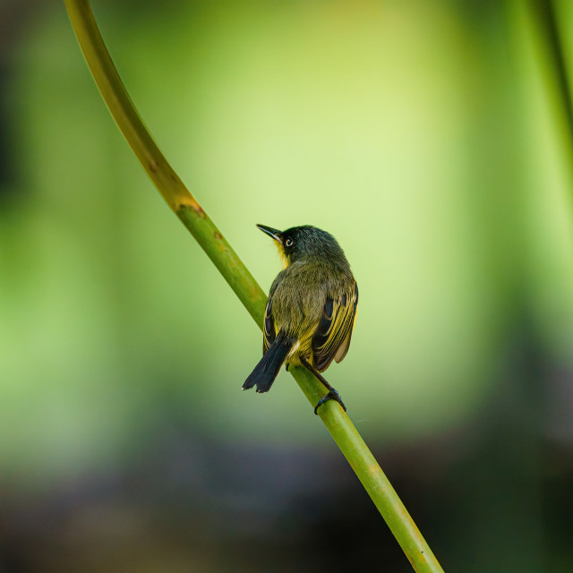 """Tody-flycatcher (Todirostrum cinereum) looking over it's shoulder, taken in..."" stock image"
