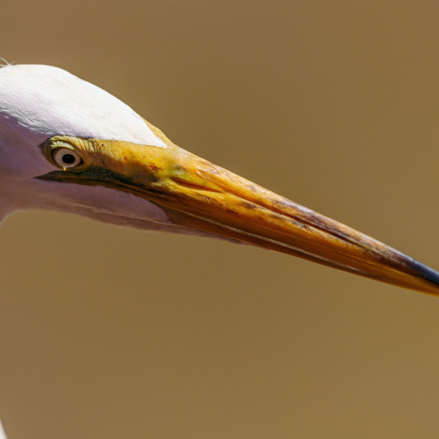 """Great Egret (Ardea alba) close-up portrait, taken in Costa Rica"" stock image"