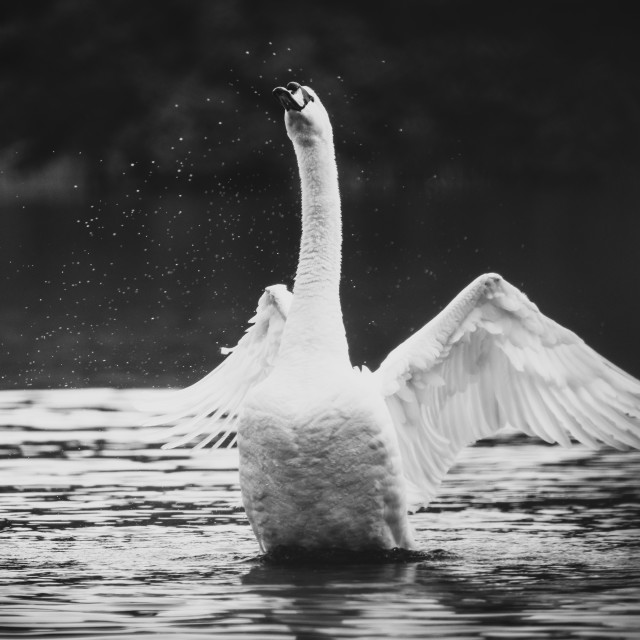 """Mute swan (Cygnus olor) flapping it's wings to dry off, taken in the UK"" stock image"