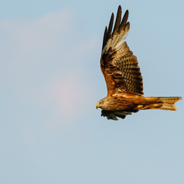 """Red Kite (Milvus milvus) in flight in the Chiltern Hills, taken in the UK"" stock image"