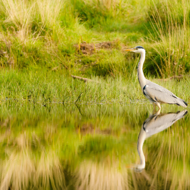 """Grey Heron (Ardea cinerea) on a still pond in spring in London"" stock image"