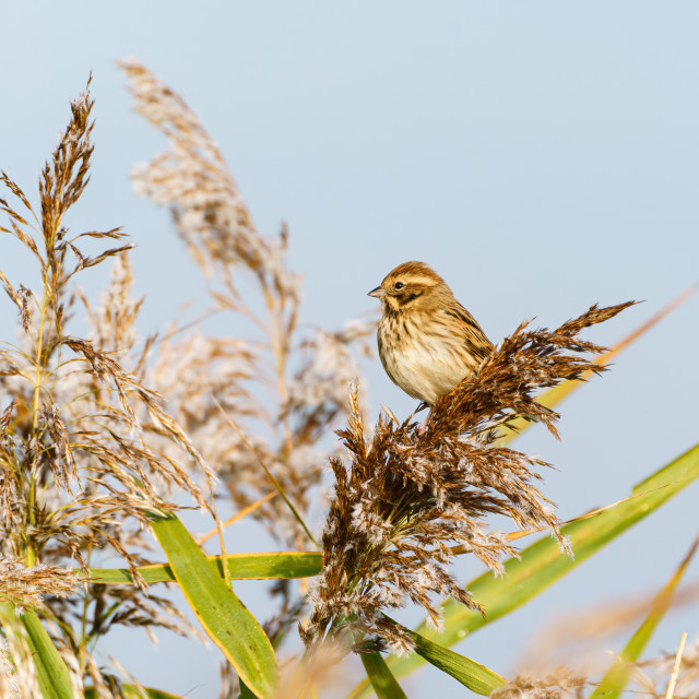 """""""Reed Bunting (Emberiza schoeniclus) sitting on some reeds, taken in the UK"""" stock image"""