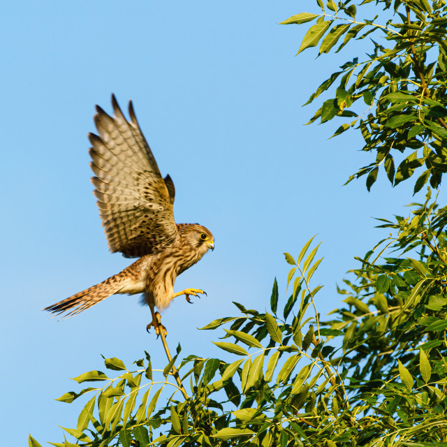 """Common Kestrel (Falco tinnunculus) struggling to maintain balance on a small..."" stock image"