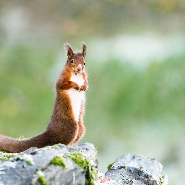 """red squirrel (Sciurus vulgaris) standing on top of logs with a nut in its..."" stock image"