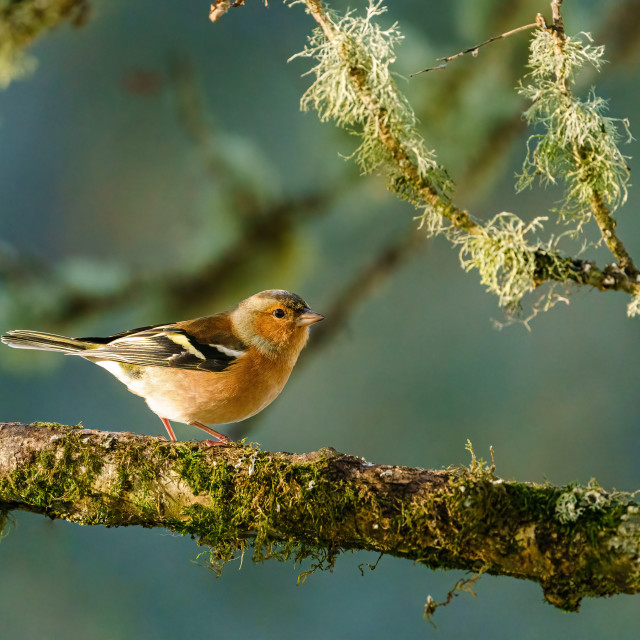 """""""Chaffinch perched on a branch as early morning light brightens it's colours,..."""" stock image"""