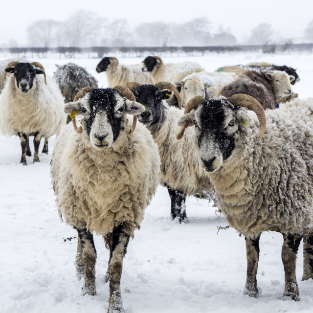 """""""Sheep waiting for their Feed as the snow blows around them, UK"""" stock image"""