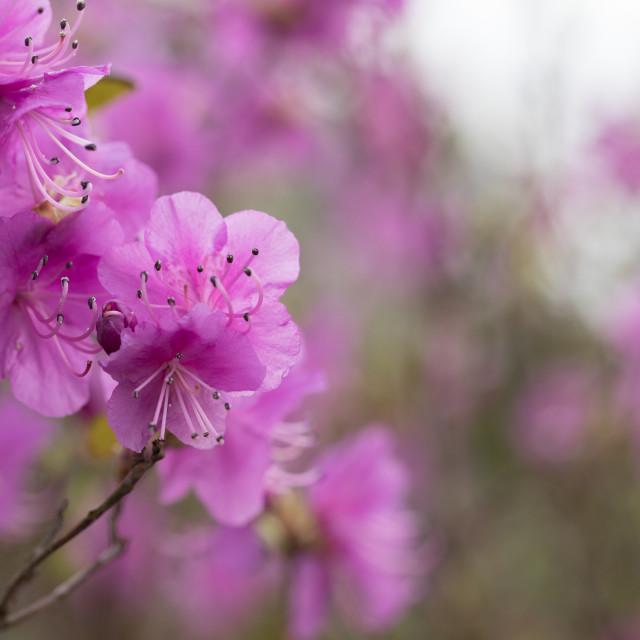 """Rhododendron dauricum 'Midwinter'"" stock image"