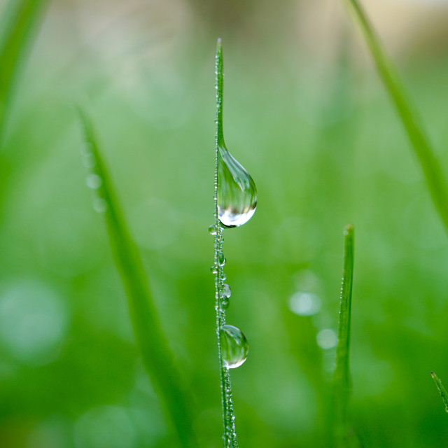 """""""raindrops on the green grass in the nature, green background"""" stock image"""