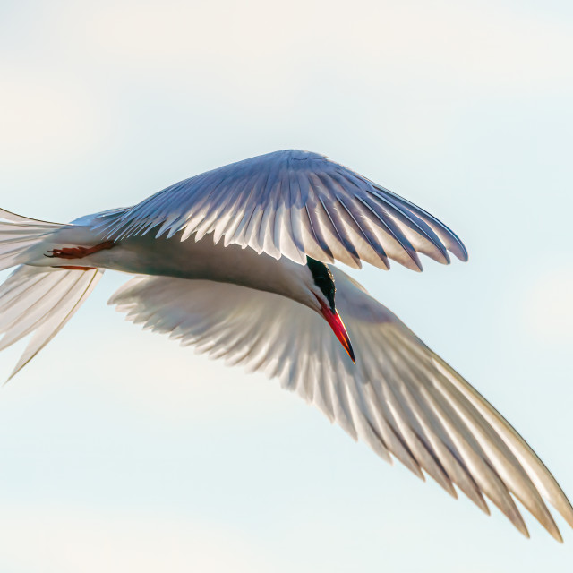 """Common Tern (Sterna hirundo) close-up in flight, London, UK"" stock image"