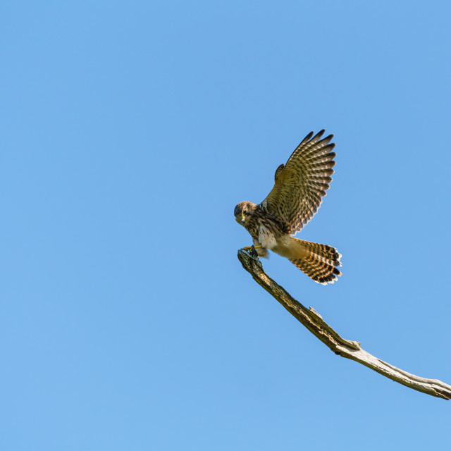 """Common Kestrel (Falco tinnunculus) landing on a branch, taken in England"" stock image"